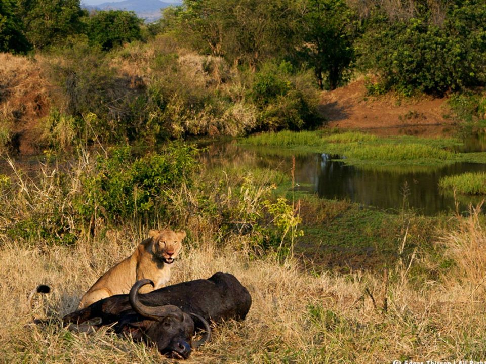 lions in kidepo Valley National park-Organizing flying safaris to Murchison Falls National Park