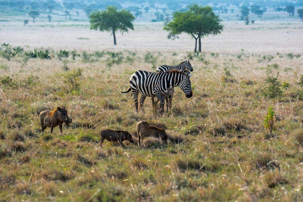 Kidepo Valley Zebras - zebras in ambroseli