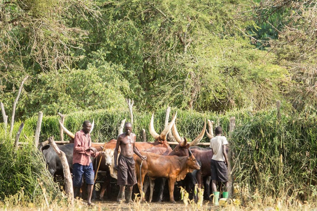 Accessing Lake Mburo National Park - LONG HORNED CATTLE IN MBURO