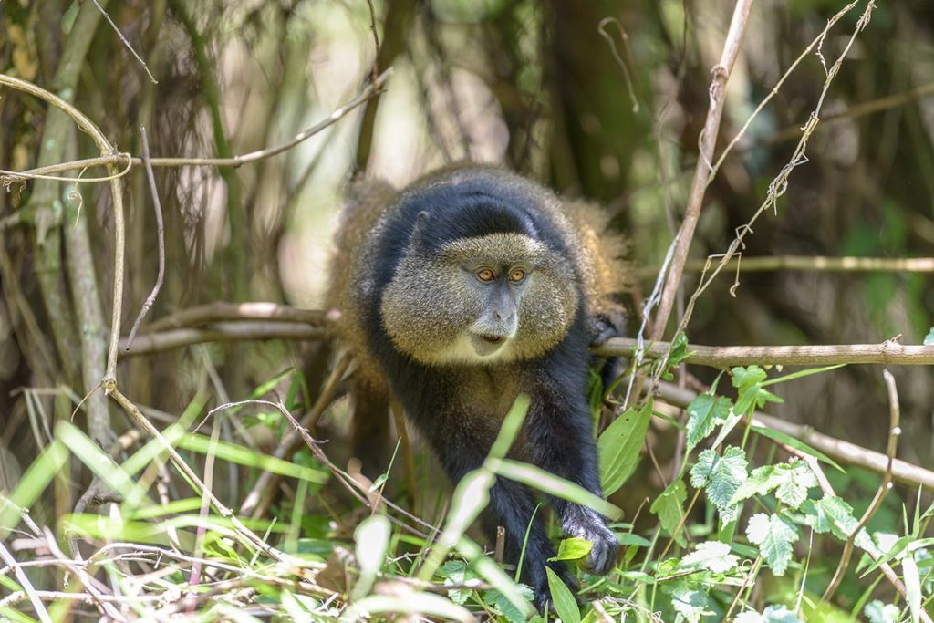 golden monkey tracking in Mgahinga National Park