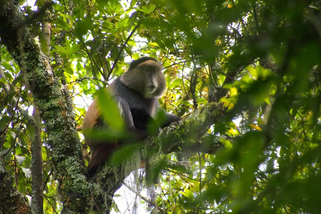 golden monkey in mgahinga