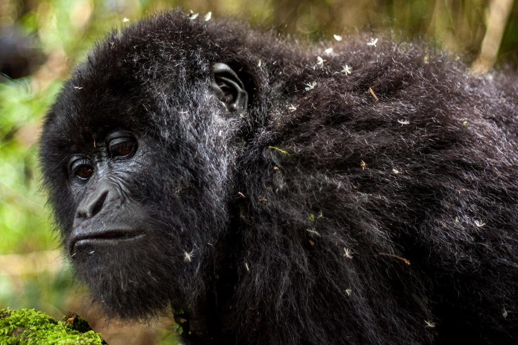 Gorilla trekking safaris from Mbarara town to Bwindi