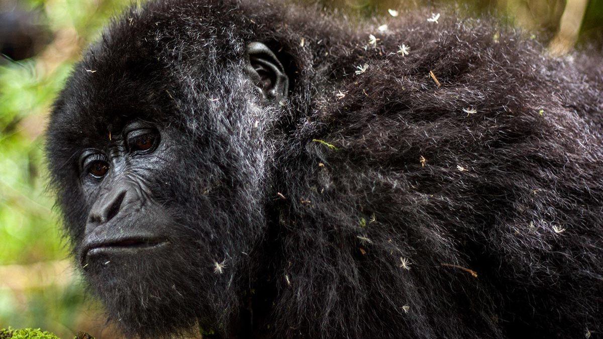 Gorilla trekking safaris from Mbarara town to Bwindi