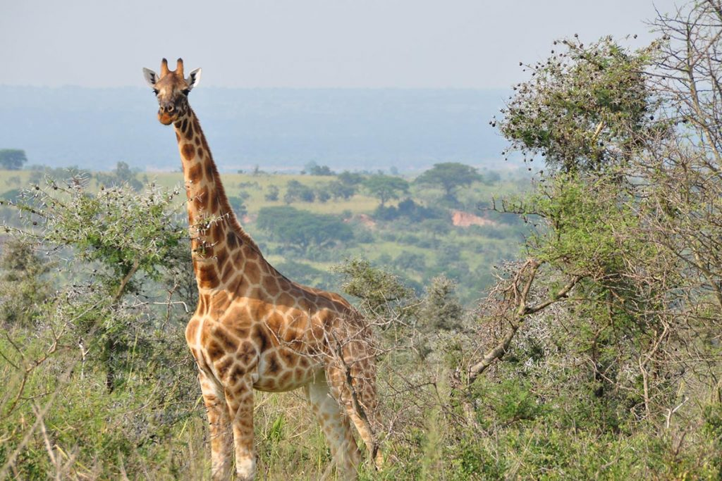 Giraffe in murchison falls national park - giraffes in masai mara
