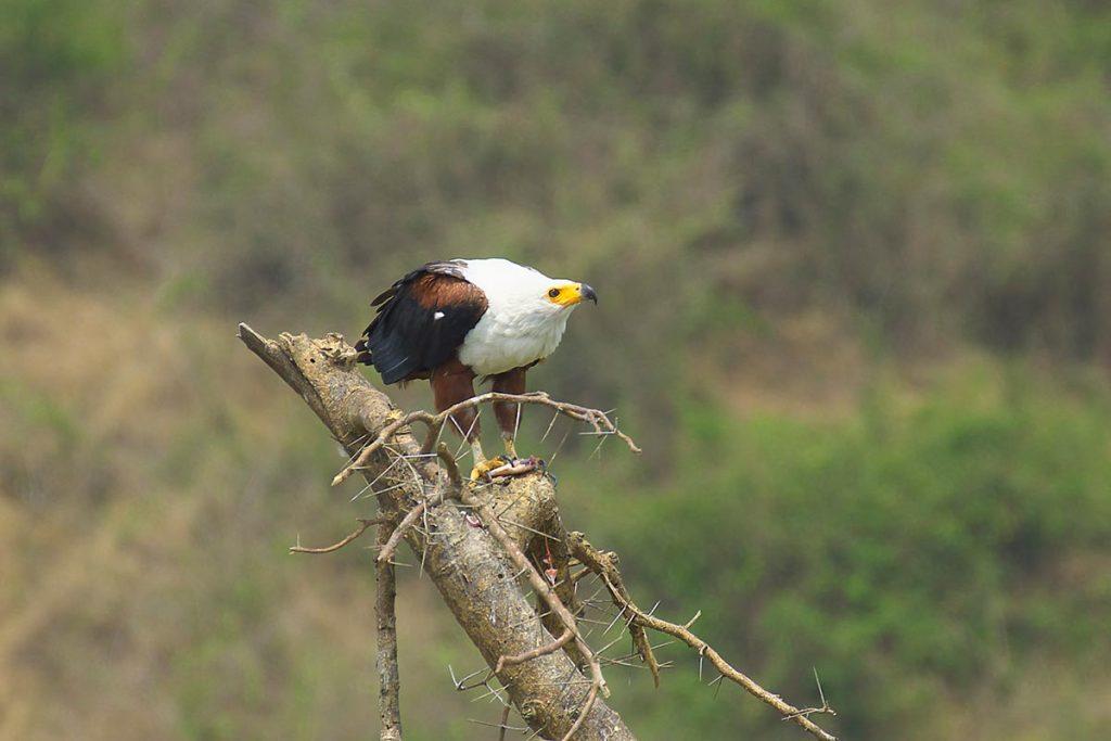 birding in queen elizabeth national park