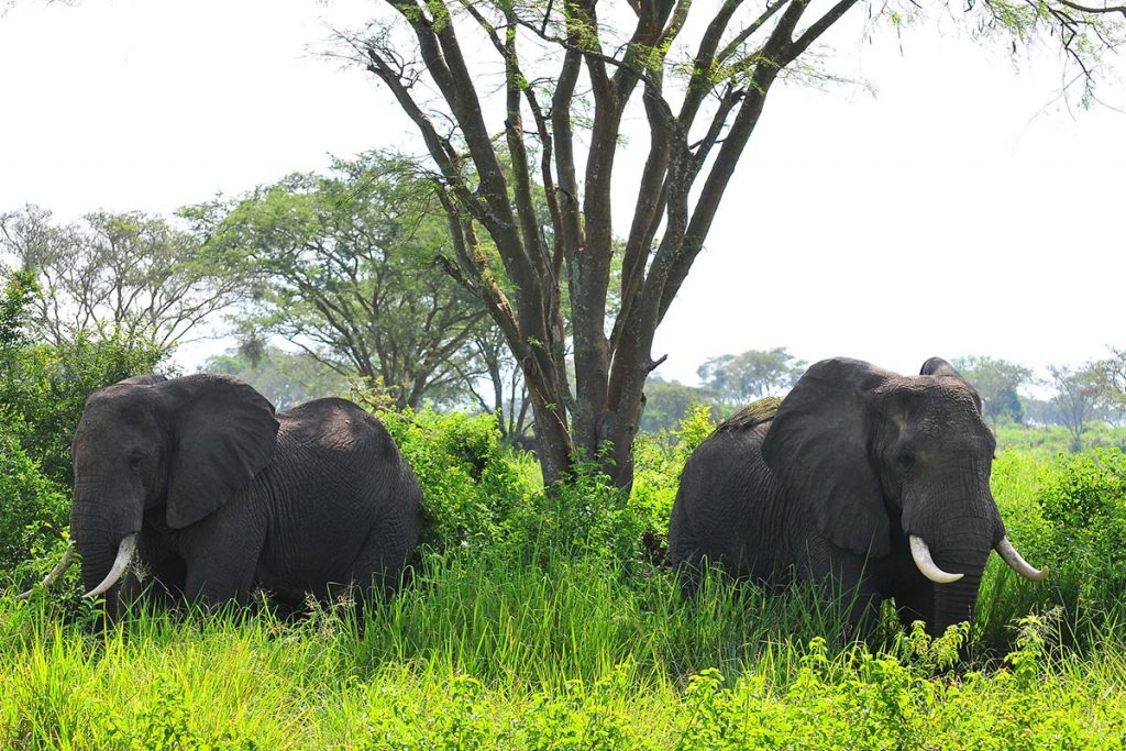 game drives in queen elizabeth game park - elephants in ngorongoro national park