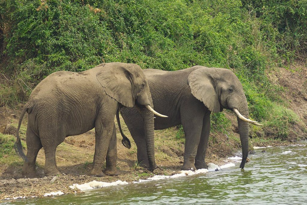 wildlife at shores of kazinga channel