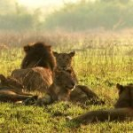 Murchison Falls National Park safari - lions in ,masai mara