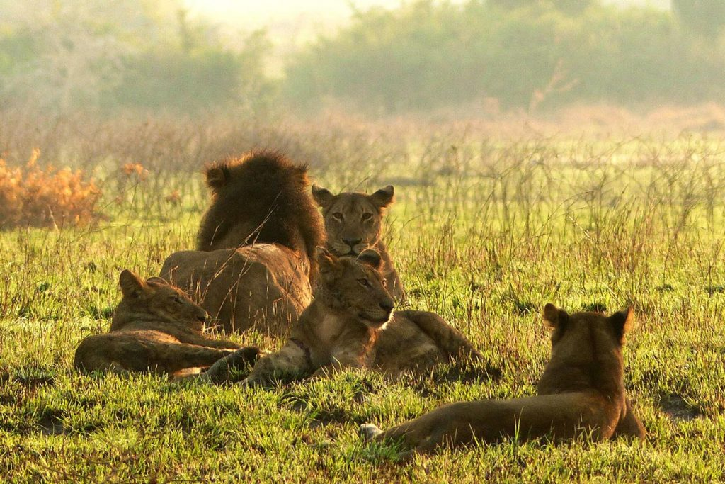 lions in queen elizabeth national park - lions in Amboseli National park