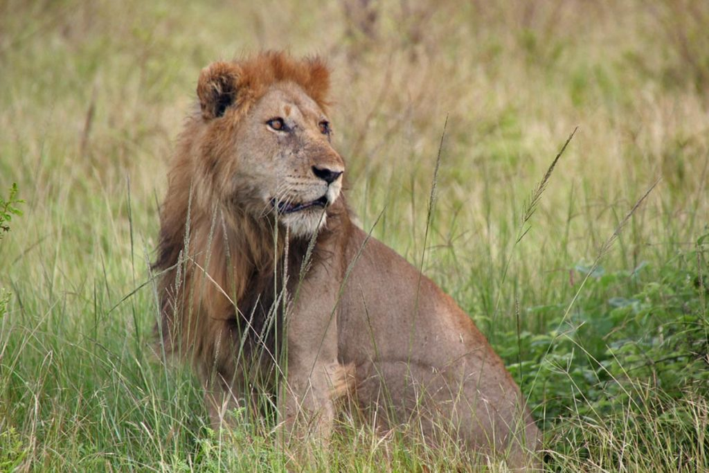 lions of queen elizabeth national park - wildlife in masai mara
