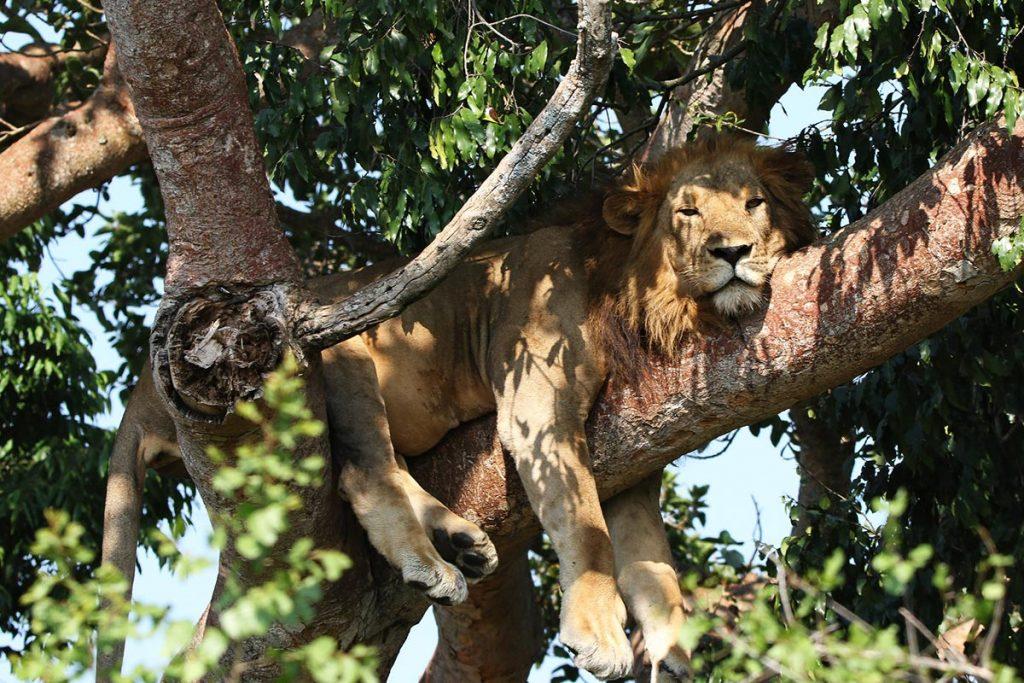 tree climbing lions resting