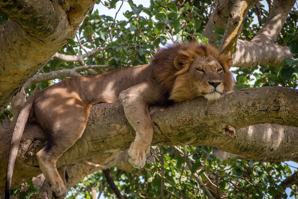 tree climbing lions in ishasha queen elizabeth national park