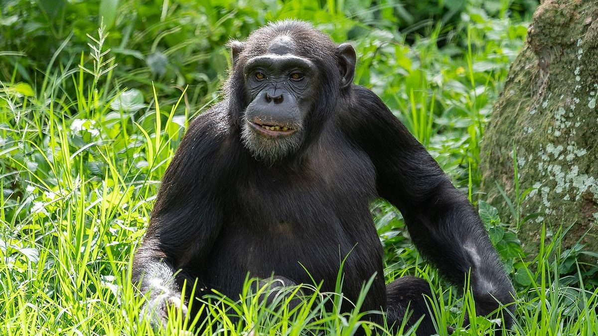 Likely post COVID-19 Chimpanzee trekking discounts in Kibale