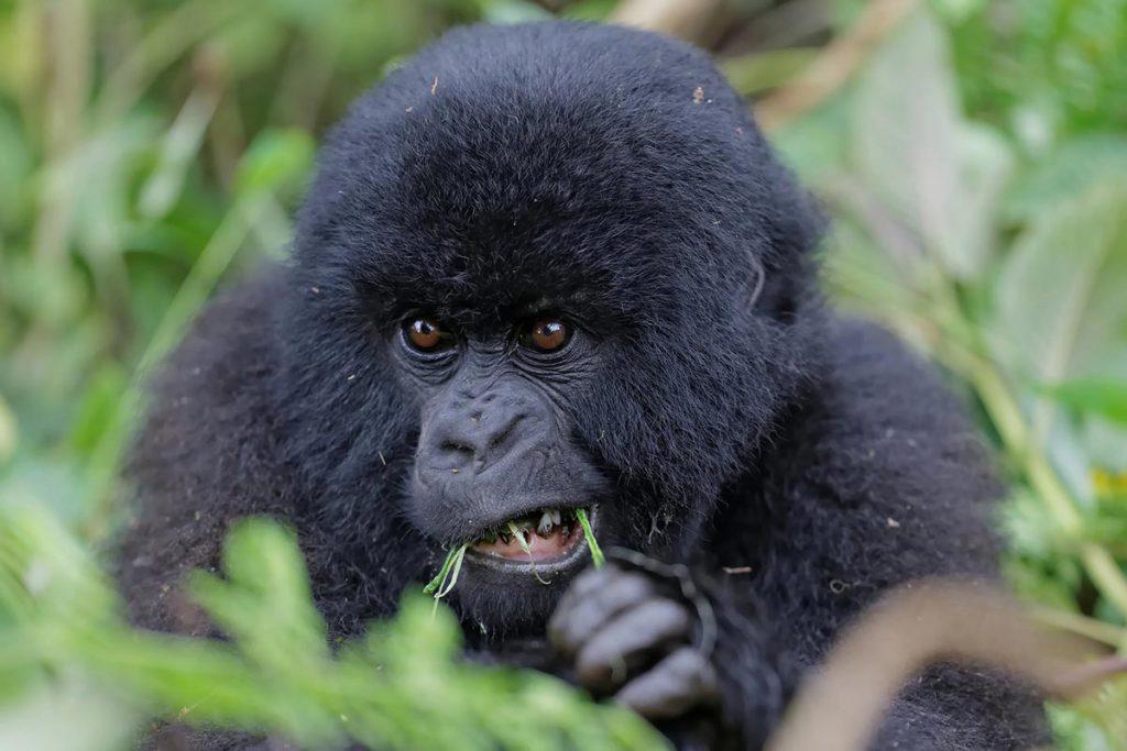 gorillas in rwanda - Gorilla Trekking in Mgahinga