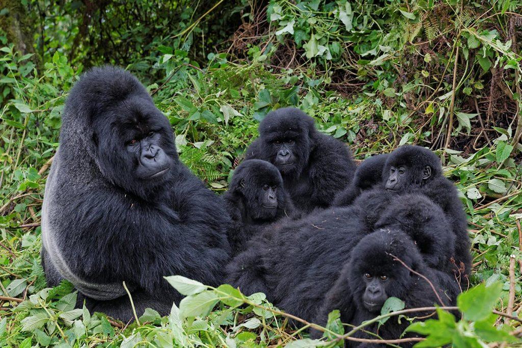gorilla family Rushaga-guide to bwindi impenetrable National Park