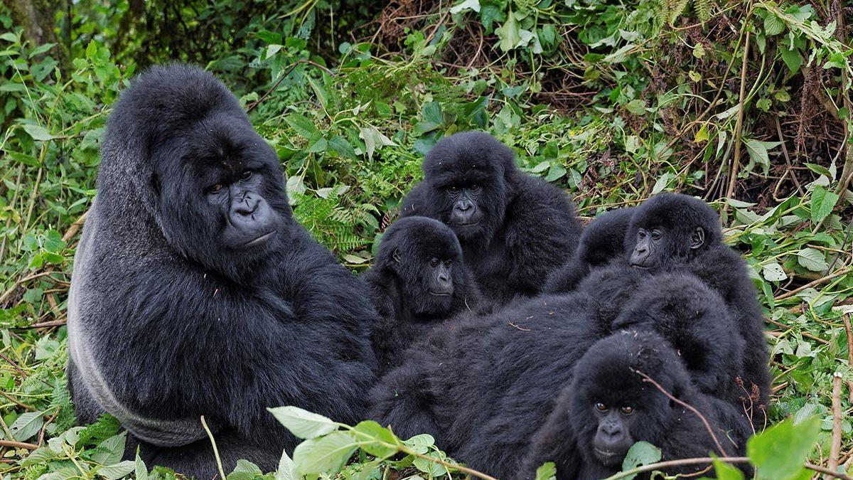 gorilla family Rushaga