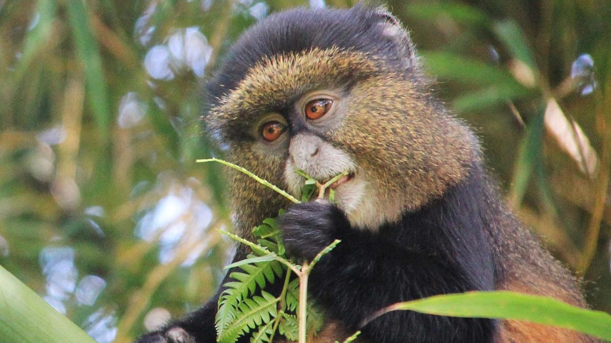 Golden Monkey safaris in Uganda and Rwanda