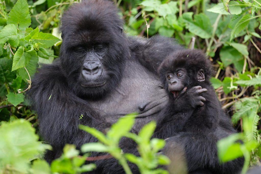 gorilla trekking best time to see gorillas