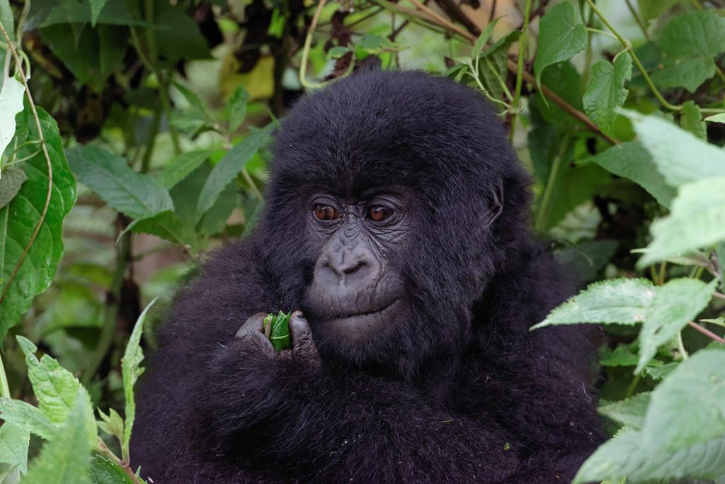 rwanda gorillas in volcanoes