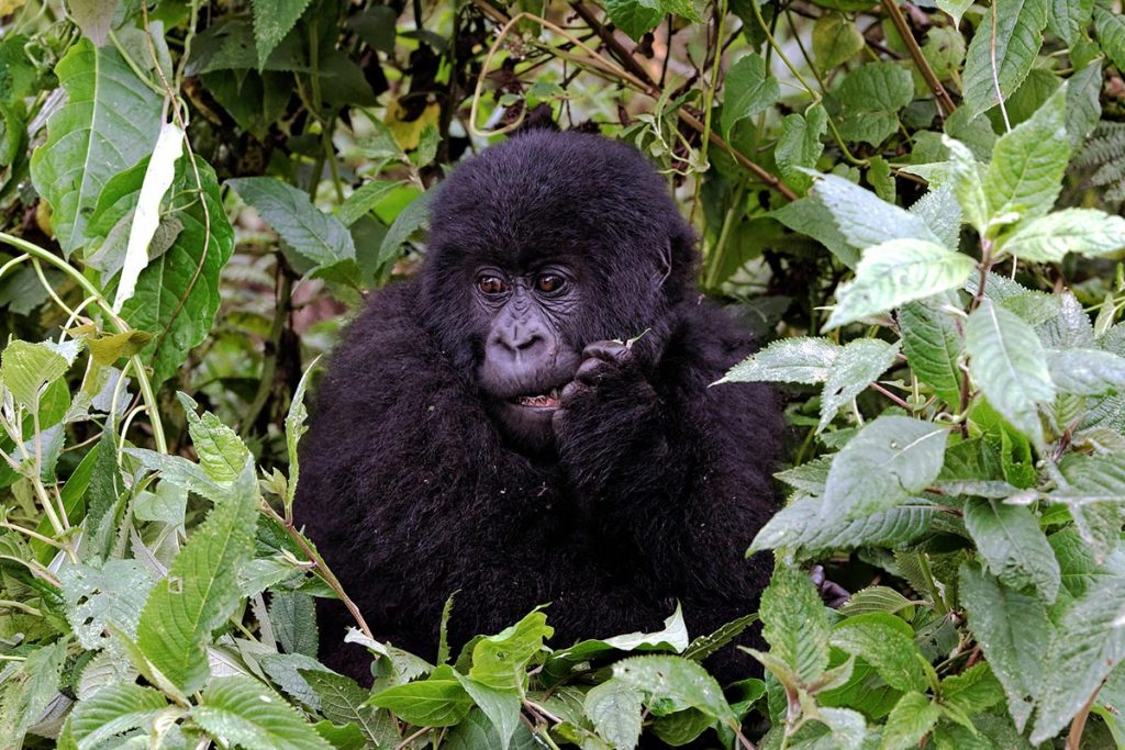 gorilla trek rwanda - 5 Day Rwanda Gorillas and Nyungwe Forest