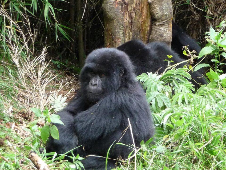 A Guide to Gorilla Trekking in Volcanoes National Park, Rwanda