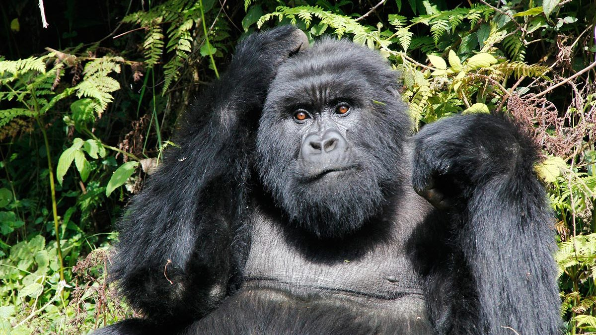 gorillas of rwanda - gorillas in mgahinga national park