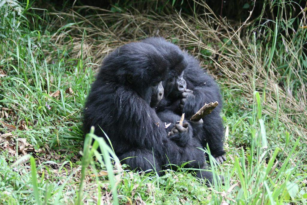 gorilla trekking in volcanoes
