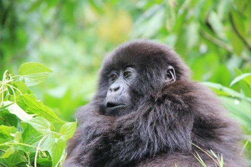 6 Days Low Land Gorilla Trekking and Nyiragongo Volcano Hike