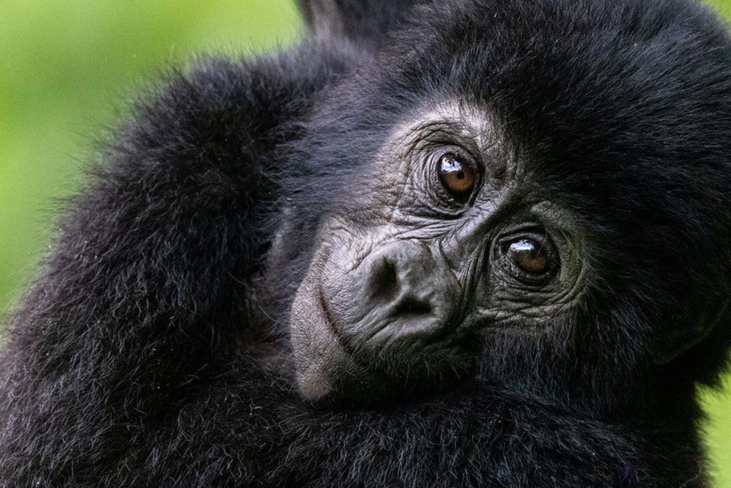 Budget Uganda gorilla safari tours