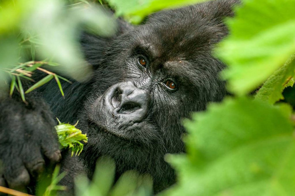 MountaiUpgrading to gorilla habituation experience gorilla trekking in Uganda