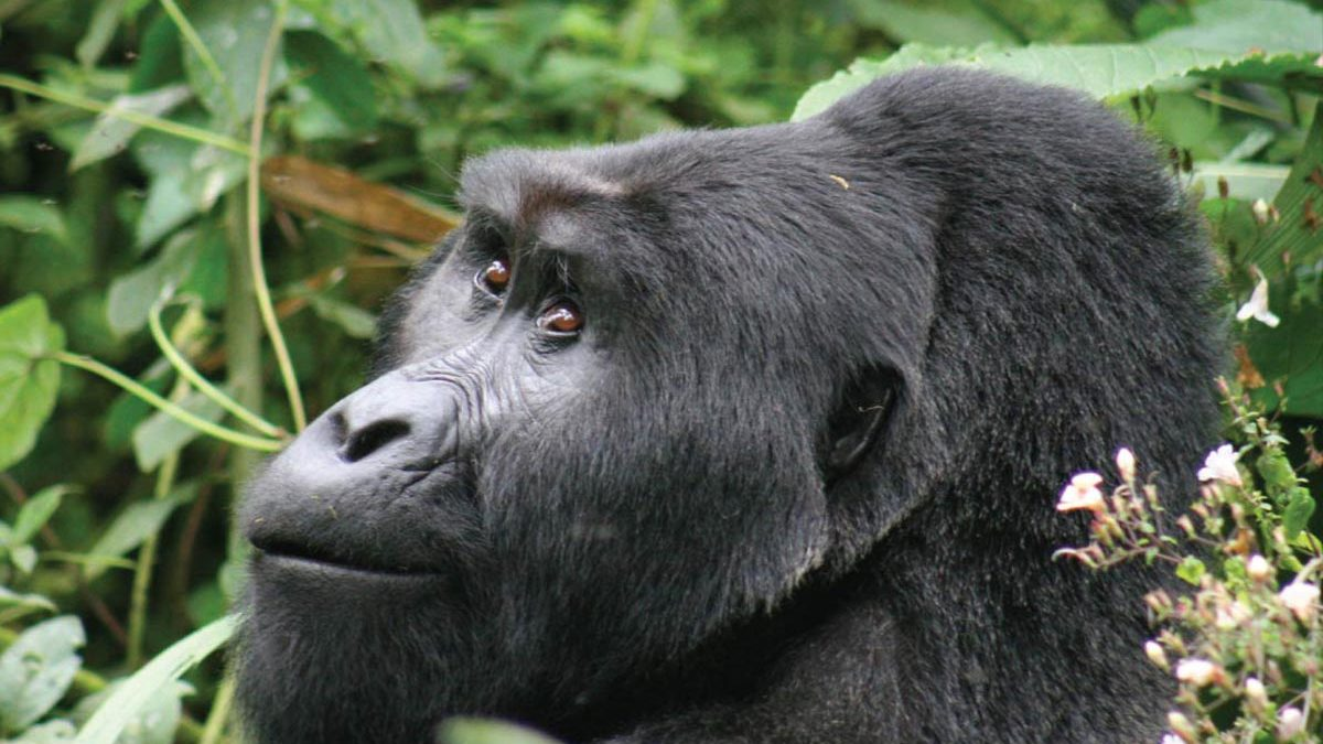 hyphen Blocking gorilla permits online-Uganda