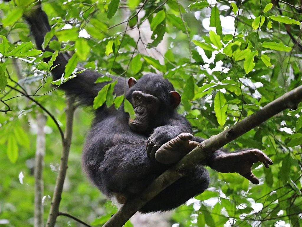 Post COVID-19 Chimpanzee trekking discounts in Budongo Forest