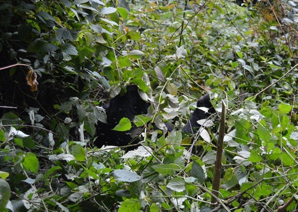 rwanda gorilla trekking safaris from southwestern uganda