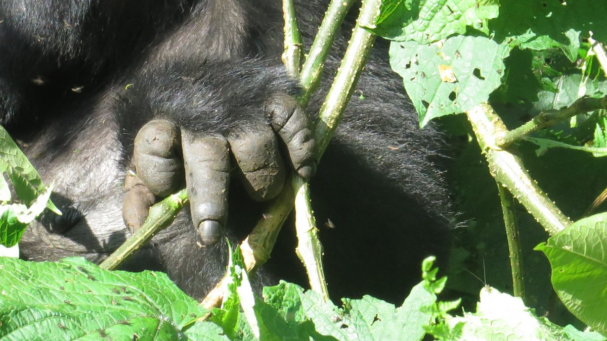 things to consider before booking Uganda gorilla permits