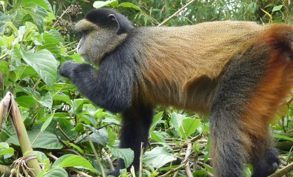 best places to see golden monkeys in East Africa