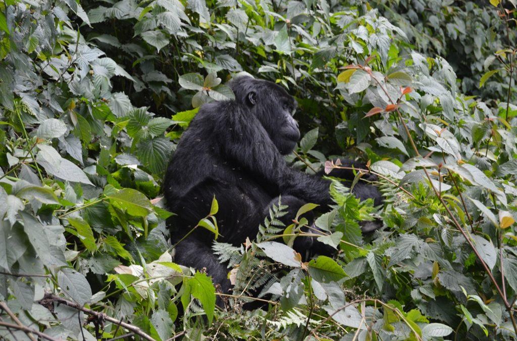 booking gorilla safaris to volcanoes National Park