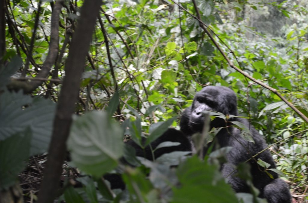 gorilla trekking in african countries