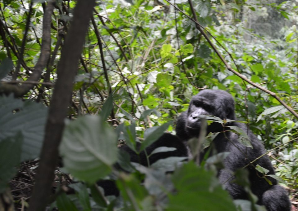 gorilla trekking in african countries