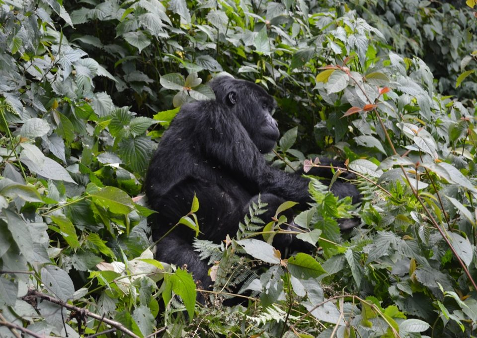 how many hours can one spend with mountain gorillas