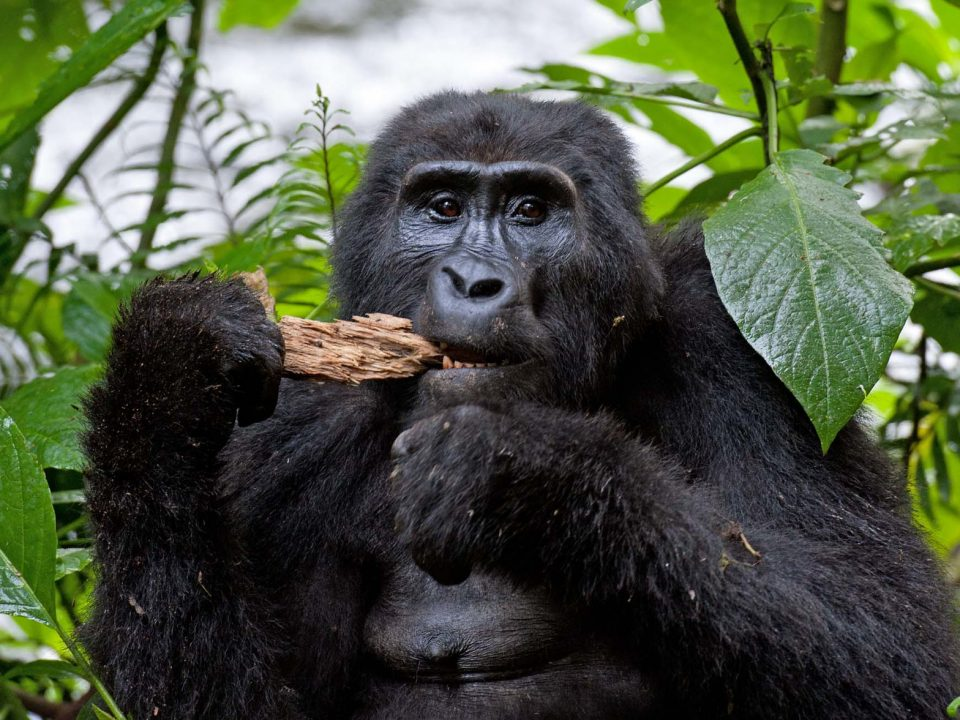Rwanda Suspends Gorilla trekking activity in Volcanoes National Park
