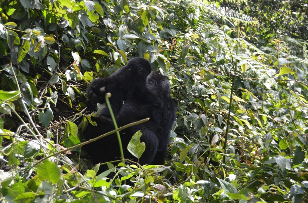 budget fly in safaris to gorillas