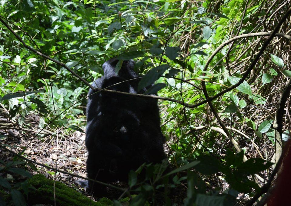 reschedule gorilla habituation permits