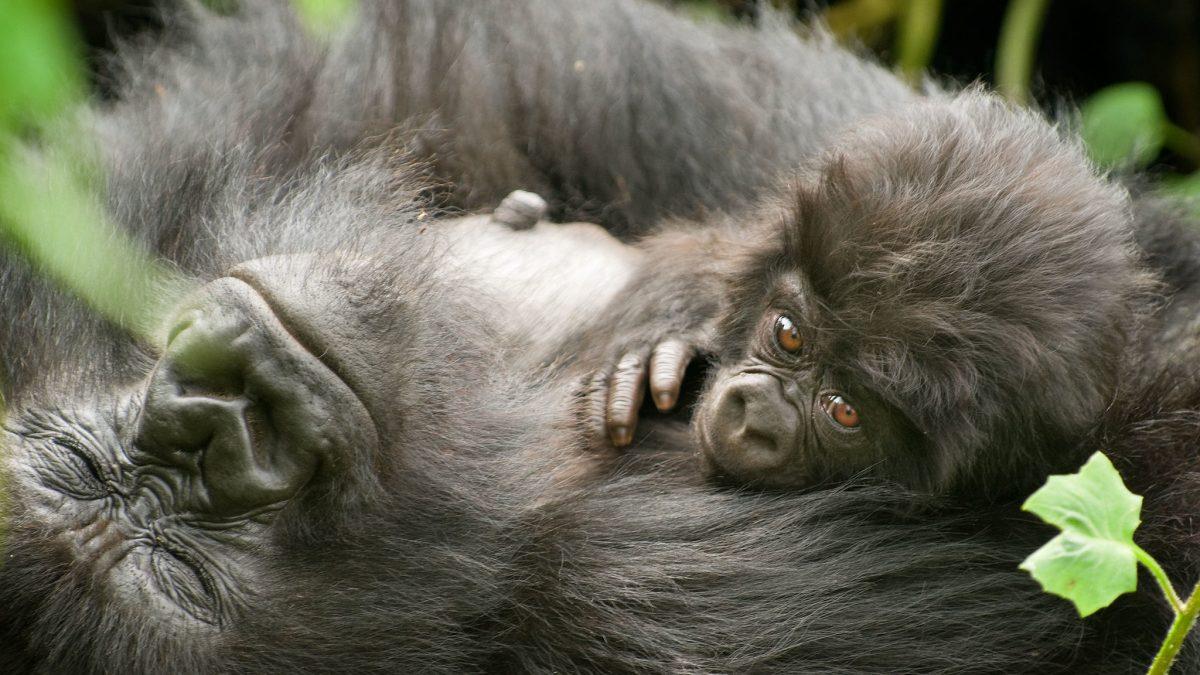 DR Congo Suspends Gorilla trekking