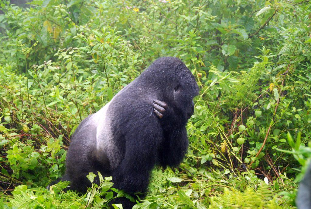 DR Congo mountain gorilla safari from Uganda
