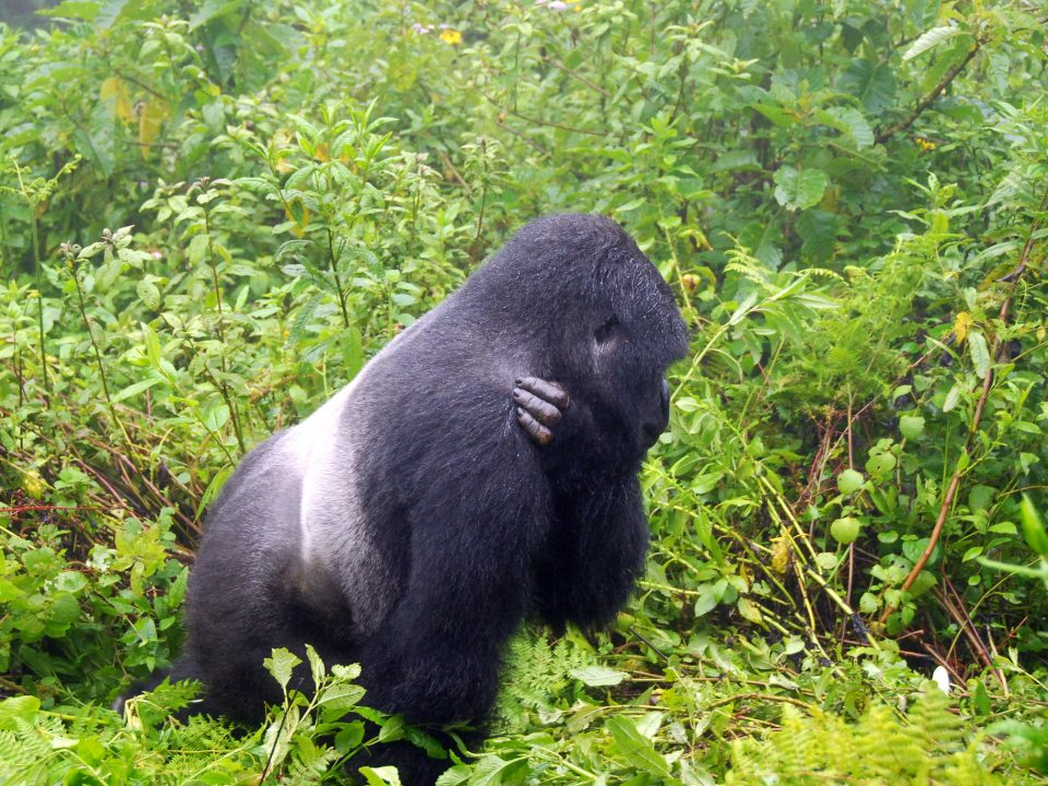 trek gorillas in Uganda-Does Congo have gorilla habituation experience safaris?