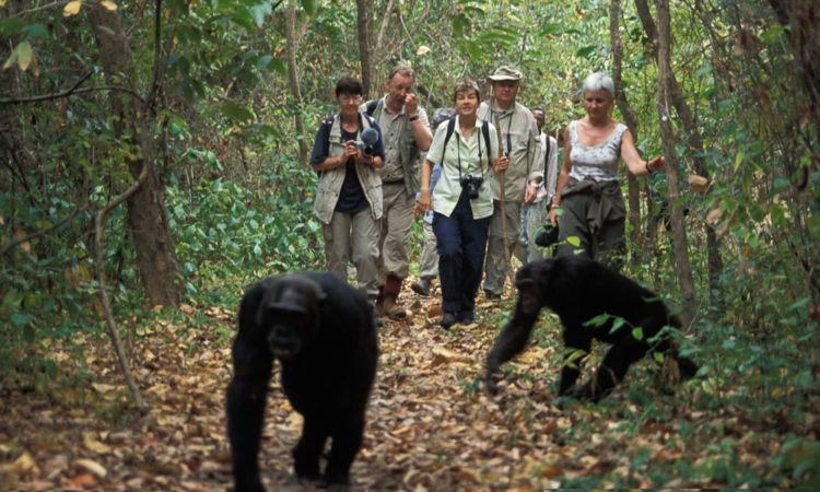 Reasons to trek chimpanzees in Uganda after COVID-19-How to reschedule chimpanzee permits in Uganda-chimpanzees in Budongo Forest Reserve