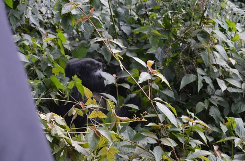 About Gorilla tracking in Volcanoes NP