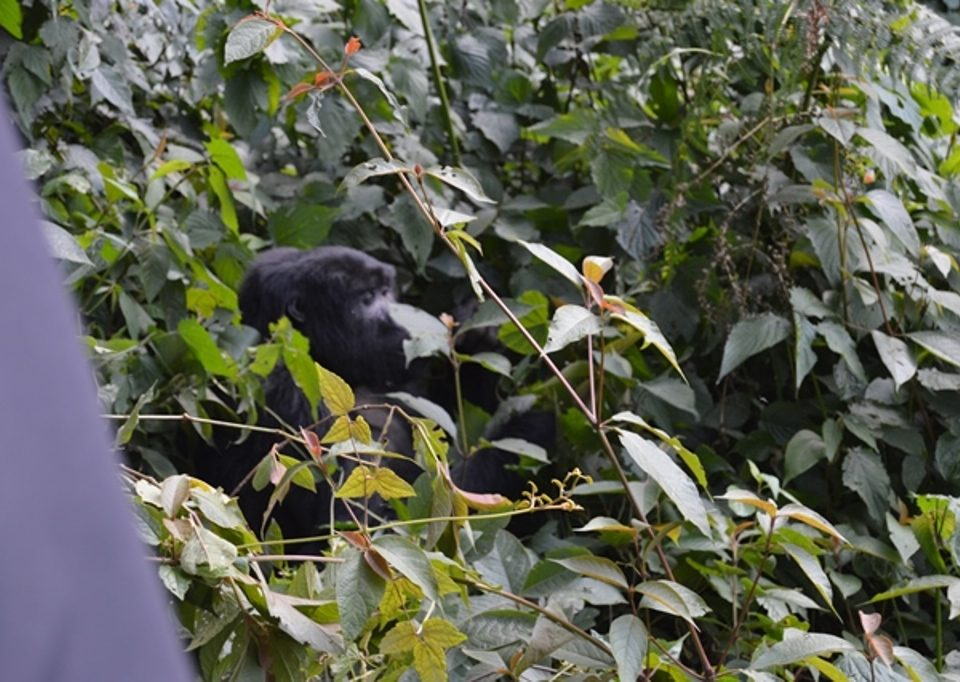 when to book a gorilla habituation safari