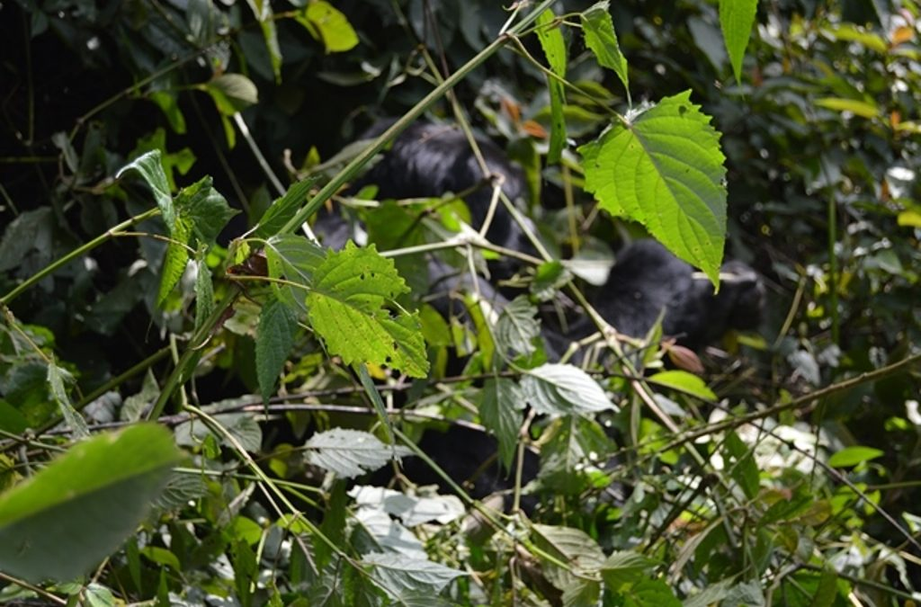 Organizing a flying safari to Buhoma to see gorillas
