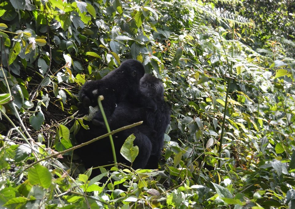 organizing a flying safari to see gorillas in Ruhija